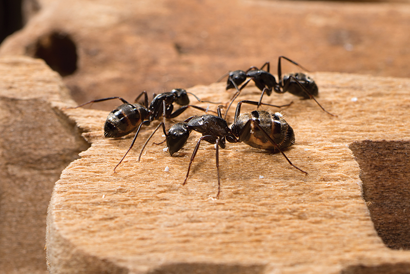 ant control services dave 39 s pest control. Black Bedroom Furniture Sets. Home Design Ideas